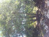 place NEBIAS - Chene poulpe - Photo 1