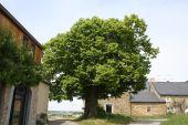 Point d'intérêt Assesse - Tilleul de Jassogne - Photo 1