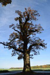 Point d'intérêt Mettet - Vieux chêne pédonculé - Photo 1