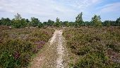 place POLIGNY - 11 - Une belle lande de bruyère (1ère ''Mer de Sable'') - Photo 1